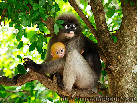 Dusky Leaf Monkey No.01