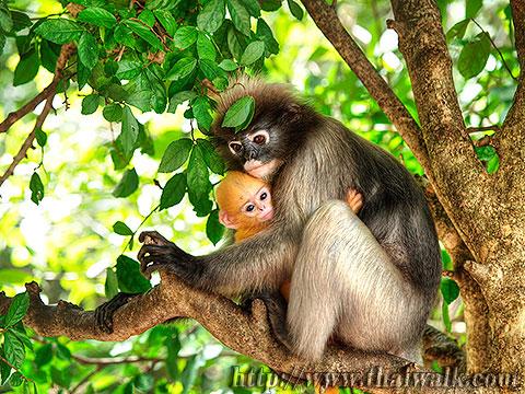 Dusky Leaf Monkey No.02