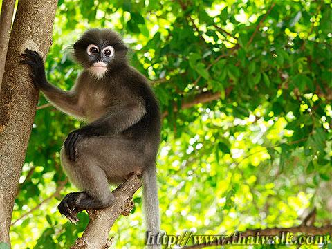 Dusky Leaf Monkey No.03