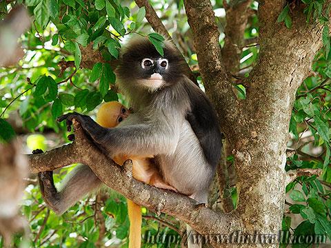 Dusky Leaf Monkey No.04