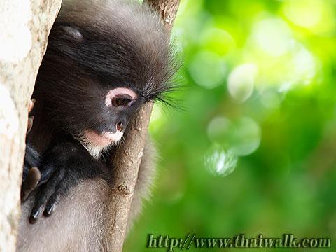 Dusky Leaf Monkey No.05