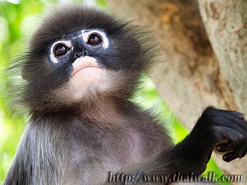 Dusky Leaf Monkey No.06