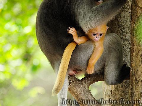 Dusky Leaf Monkey No.07