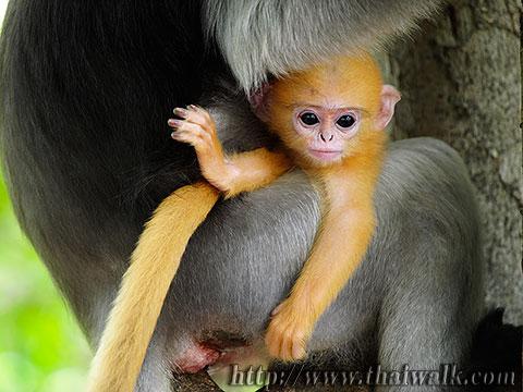 Dusky Leaf Monkey No.08