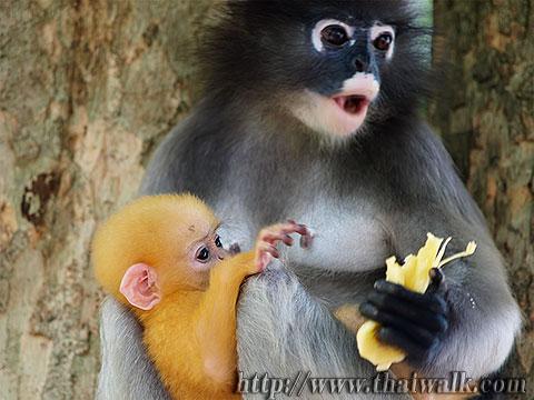 Dusky Leaf Monkey No.09