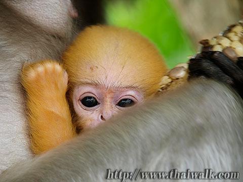 Dusky Leaf Monkey No.10