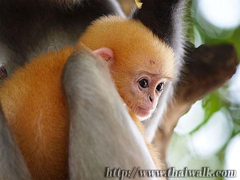Dusky Leaf Monkey No.11