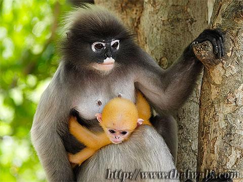Dusky Leaf Monkey No.12
